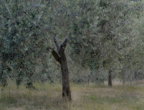 glass-olive-tree